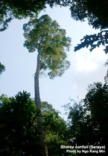 Seraya Tree
