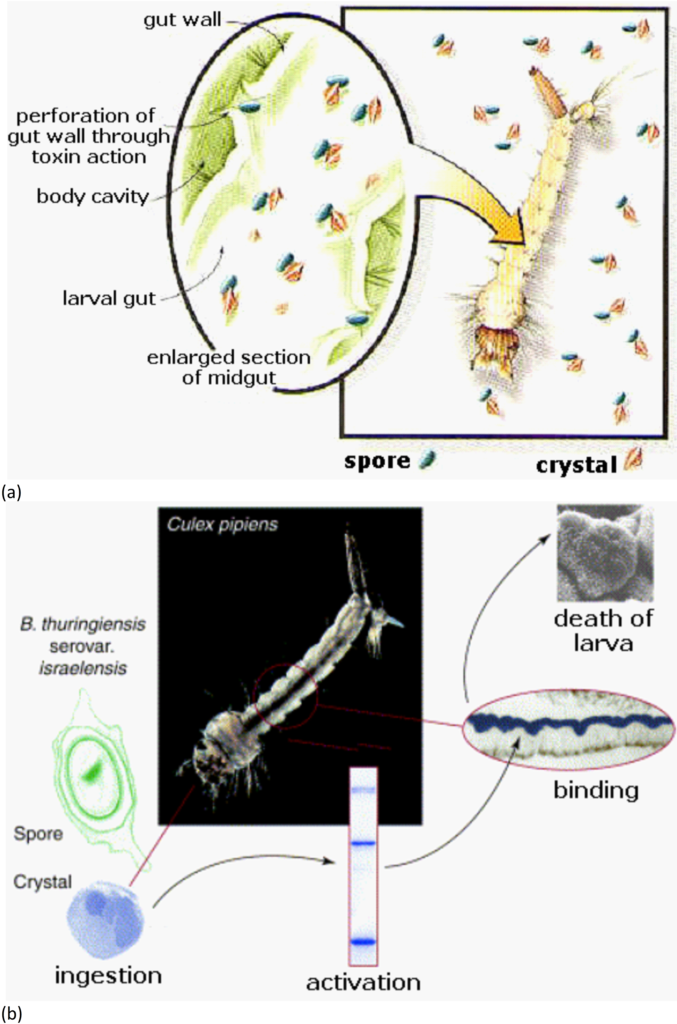 The mode of action of crystal toxins from an entomopathogenic bacteria Bacillus thuringiensis serovar. israelensis Source: Microorganisms in Biological Pest Control — A Review (Bacterial Toxin Application and Effect of Environmental Factors) In 2015, InTech marked its 10th anniversary since publishing the first book. In these 10 years we published some exceptional research, and to highlight this, we complied the Research Collection Books containing the leading chapters on a specific research topic. The chapters have been selected following different criteria, among which are the number of downloads of a chapter, the number of views, readers feedback and citations. In celebration of our 10th year anniversary, and to thank our authors for their contributions and acknowledge the specific merit of their work, their chapter has been included in one of our Research Collection Books. Note: The Research Collection books are to be found in our Book Catalog in order to avoid duplicating chapters in our reading platform. By Canan Usta
